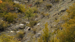 Sheep and goats graze on mountain meadows Stock Footage