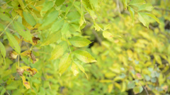 Ash tree (Fraxinus excelsior) Stock Footage