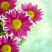 Chrysantemum flowers over green bright background Stock Illustration