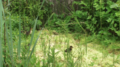 Mallard Ducklings in peatland calling and looking for mama duck Stock Footage