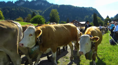 Cattle Livestock driving down Alps Oberstdorf Allgau Bavaria Germany Stock Footage