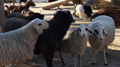 Group of sheep Stock Footage