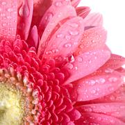 pink daisy-gerbera with water drops isolated on white - stock photo