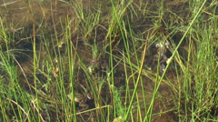 Croaking Green frogs (Pelophylax) in marsh Stock Footage