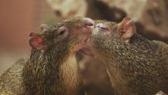 4k Agouties kissing each other. Stock Footage