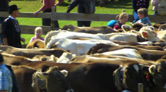 S/M Pan Cattle Livestock driving down Alps Oberstdorf Allgau Bavaria Germany Stock Footage