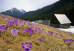 Crocuses in chocholowska valley tatra np poland Stock Photos