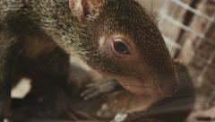 4k Mother agouti looking after her babies. Stock Footage