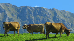 Cattle grazing in the Alps Oberstdorf Allgau Bavaria Germany - stock footage
