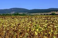 Stock Photo of agricultural sunflower field.