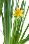 Stock Photo of narcissus isolated on white