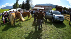 Fisheye Cattle Livestock driving down from Alps Allgau Bavaria Germany Stock Footage