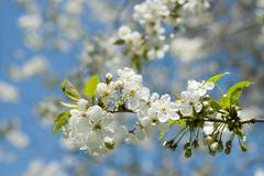 Spring blossom of apple tree against blue sky Stock Photos