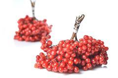 Berries of red viburnum Stock Photos