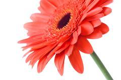 macro of red daisy-gerbera head isolated on white - stock photo