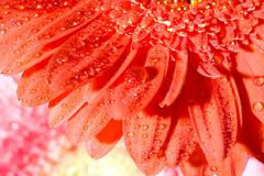 Close up red daisy-gerbera with water drops and shallow focus Stock Photos