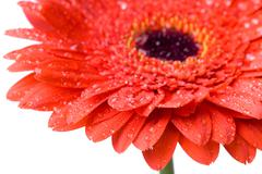 Macro of red daisy-gerbera head with water drops isolated on white Stock Photos