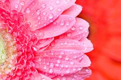 close up pink daisy-gerbera with water drops - stock photo