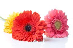 daisy-gerbera with water drops isolated on white - stock photo