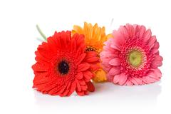Bouquet from daisy-gerbera with water drops isolated on white Stock Photos