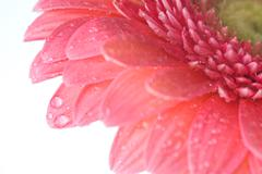 Pink daisy-gerbera with water drops isolated on white Stock Photos