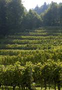 vineyards near spitz in wachau lower austria - stock photo