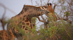 Giraffe eating leaves from a tree Stock Footage