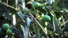Green olives on the tree Stock Footage