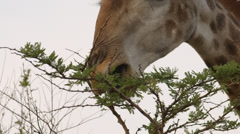 Extreme Close-up of Giraffe eating leaves from a tree Stock Footage