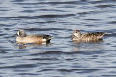 pair of blue-winged teal - stock photo