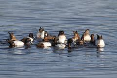 Lesser scaup (aythya affinis) Stock Photos