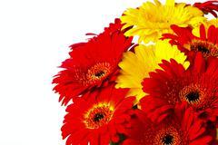 flower gerber - stock photo