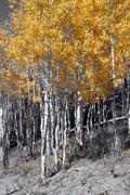 Brilliant golden fall aspen colors Stock Photos