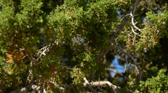 Pinion Pine swaying in the Wind Stock Footage