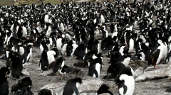 Rockhopper Penguins Stock Footage