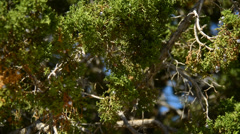 Pinion Pine swaying in the Wind - stock footage
