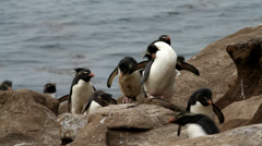 Rockhopper Penguins running uphill Stock Footage
