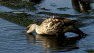 Stock Video Footage of Crested Duck