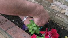 Man planting petunia flowers Stock Footage