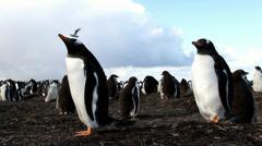 Curios Gentoo Penguins Stock Footage