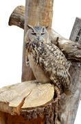 adult night owl predator - stock photo