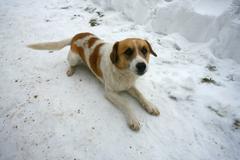 Ordinary dog ??on the snow Stock Photos