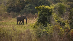 Elephant walking into the bush - stock footage