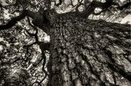 Stock Photo of Black and White Oak
