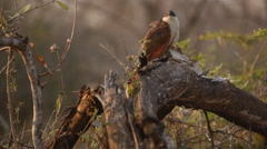 Burchell's Coucal sitting on a branch Stock Footage
