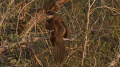Burchell's Coucal sitting in a tree Stock Footage