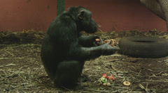 4k Interior medium shot of a monkey eating fruit. Stock Footage