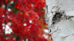 Maple Leaves and White Birch Loop Stock Footage