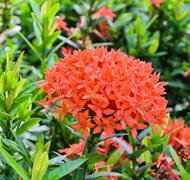 Red ixora flower Stock Photos