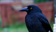 Stock Video Footage of Pied Currawong closeup 1